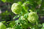 White hydrangea flowers closeup