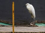 Image of great egret ardea alba ...