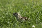 Thirteen lined ground squirrel  ...