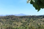 Olive plantation in crete  the...